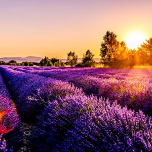 Fields of lavendar.